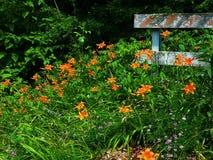 St. Peter's Creek, Peach Bottom, Pennsylvania. Wildflowers, orange daylillies, creekside stock images