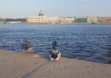 St Petersburg Patos Catedral de Isaac del santo foto de archivo