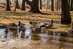 St Petersburg Patos silvestres del pato salvaje en su hábitat natural imagenes de archivo