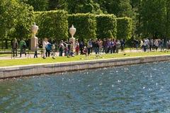 St Petersburg Rosja, Czerwiec, - 28, 2017: Turysta karmy ptaki przy stawem Peterhof w St Petersburg Zdjęcia Stock
