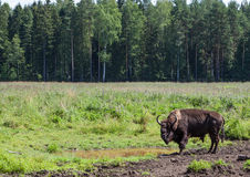 St. Petersburg. Russia. Bisons in Toksovo. Royalty Free Stock Photos