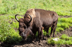 St. Petersburg. Russia. Bisons in Toksovo. Stock Image
