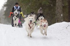 St. Petersburg, Russia. 10 February 2019. Dog sled race royalty free stock photography