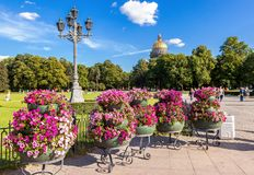 Beautiful petunia flowers in big flowerpot in sunny day against Stock Image