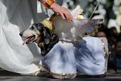 Dog in costume during Dachshund parade stock photography