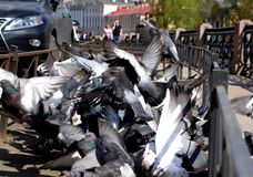 Pigeons crowd and Explosion of wings stock photo