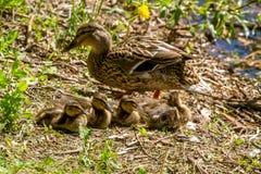 St. Petersburg. Wild duck mallards in their natural habitat royalty free stock photography