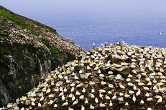 st sanctua mary s gannets плащи-накидк птицы Стоковое Изображение