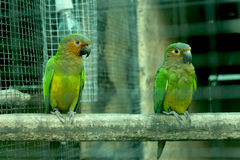 St.thomas Conure bird. Sitting on a branch i got this image via canon 650D Royalty Free Stock Photo