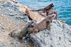 St. Thomas Marine Iguanas Stock Images