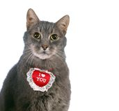 St Valentine's Day cat Royalty Free Stock Images
