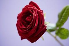 St.-Valentinsgrüße stiegen Stockbilder
