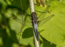 Stać na czele Cielesny Dragonfly fotografia royalty free