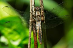 Stać na czele Cielesny Dragonfly - Ladona Julia fotografia stock