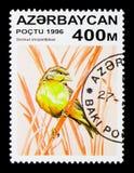 Stać na czele kanarek, ptaka seria około 1, (Serinus mozambicus) Zdjęcie Royalty Free