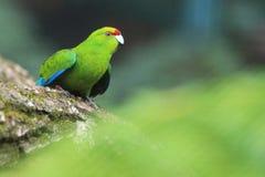 Stać na czele parakeet obrazy stock