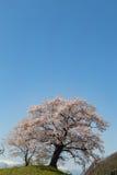 Stać Sakura drzewa na skłonie Fotografia Royalty Free