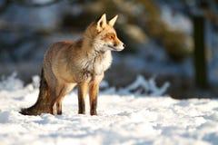 Stać w śniegu Obraz Royalty Free