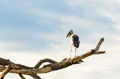 Sta птицы Openbill азиата (oscitans Anastomus) белое Стоковые Фото