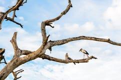 Sta птицы Openbill азиата (oscitans Anastomus) белое Стоковые Фотографии RF