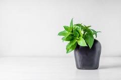 Söta Basil Leaf i vasen (Ocimumbasilicumen Linn) Arkivbild