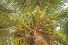 Söta kokosnötter på dess träd Arkivfoto