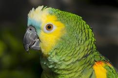 Stać na czele amazonki papuga zdjęcie royalty free