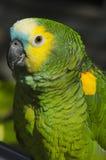 Stać na czele amazonki papuga zdjęcia stock