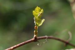 Staaftak met kleine bladeren Stock Afbeeldingen