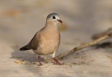 Staalvlekduif, Сине-запятнанный деревянный голубь, afer Turtur стоковые фото