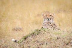 Staar van een jachtluipaard tijdens de meest wildebeest migratie stock afbeelding
