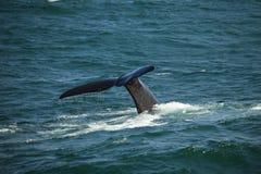 Staart boven de water het duiken zuidelijke juiste walvis, Zuid-Afrika stock foto's