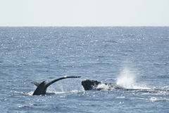 Staart en de hoofdWalvis van de Gebochelde Stock Foto