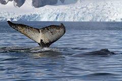 Staart en rug van twee gebocheldewalvissen die op de achtergrond zwemmen Stock Foto's