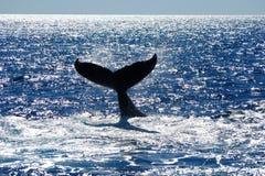 Staart van de Walvis van de Gebochelde stock fotografie