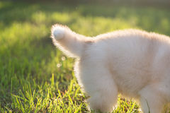 Staart van Siberisch schor puppy Stock Fotografie