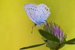 Staartblauwtje, bleu Court-coupé la queue, argiades de Cupido photo stock