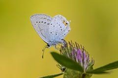 Staartblauwtje, bleu Court-coupé la queue, argiades de Cupido images stock