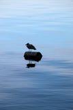 Staat- Washingtonvogel, der auf Klotz schwimmt Lizenzfreies Stockfoto