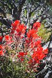 Staat Wyoming-Blume, indischer Malerpinsel Lizenzfreies Stockbild