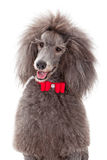 Stabdard Poodle with Red Bow Tie Stock Photos