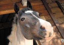 Stabiel paard Stock Foto's