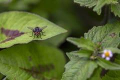 Stabil fluga som vilar p? ett blad i en buske arkivbilder