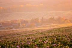 Stabilimento accogliente circondato dai campi agricoli soleggiati, fiori porpora di phacelia, bello paesaggio della campagna alla fotografia stock libera da diritti