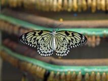 Stabilimento d'incubazione della farfalla Fotografia Stock Libera da Diritti