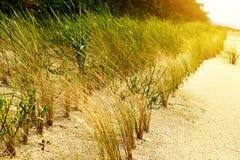 Stabilisation de dune de sable Arénaire européenne d'Ammophila d'herbe de gourbet s'élevant sur des dunes au bord de mer baltique Image libre de droits