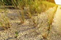 Stabilisation de dune de sable Arénaire européenne d'Ammophila d'herbe de gourbet s'élevant sur des dunes au bord de mer baltique Images libres de droits