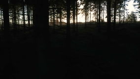 Stabilised tracking shot of sunlight at sunset or sunrise flaring through the trees in a forest stock footage