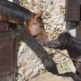 In stable. CHESTNUT HORSE and pony in stable Royalty Free Stock Photos