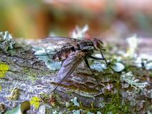 Stable fly standing on a tree branch stock photography